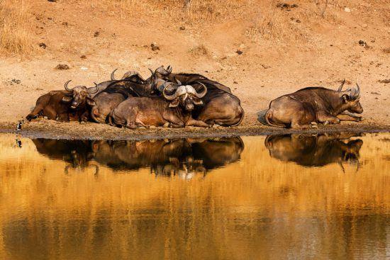 Büffelherde sonnt sich im Wasserloch