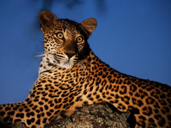 Leopard bei Nacht