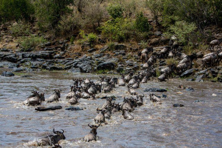 Traversée de la rivières par des milliers de gnous et zèbres dans la rivière du Mara au Kenya.