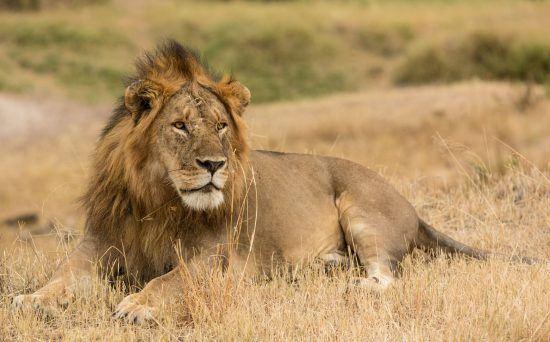 ein Löwe der im Gras sitz