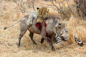 Léopard s'attaquant à un phacochère