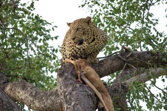 Ein Leopard sitzt in einem Baum und wacht über seine Beute