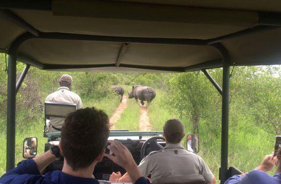Zwei Breitmaulnashörner laufen vor einem Safari-Fahrzeug über den Weg, die Safari-Teilnehmer machen Fotos