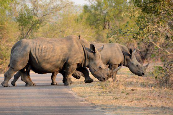 Nashörner im afrikanischen Busch