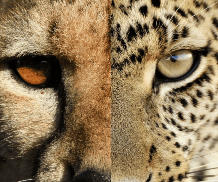 leopard vs cheetah eyes