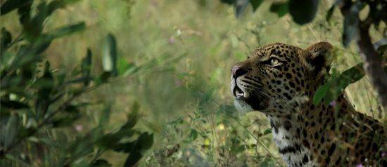 Ein Leopard sitzt im grünen Busch und guckt nach oben