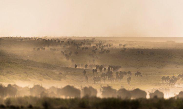 Gnous et zèbres dans une plaine brumeuse au Kenya dans le Masai Mara.