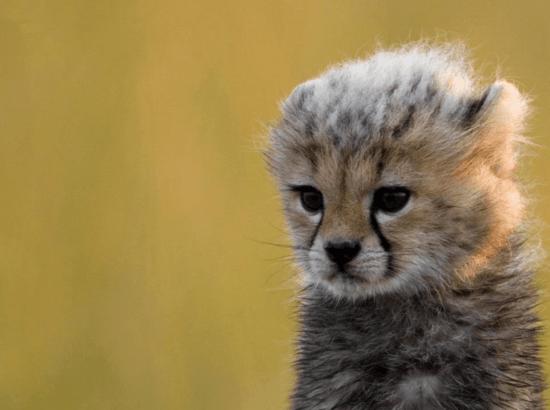 Nouveau né et bébé guépard dans le classement des plus mignons bébés animaux.