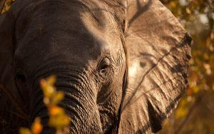 Closeup Elefant