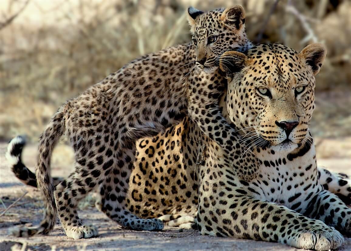 """Résultat de recherche d'images pour """"leopard"""""""