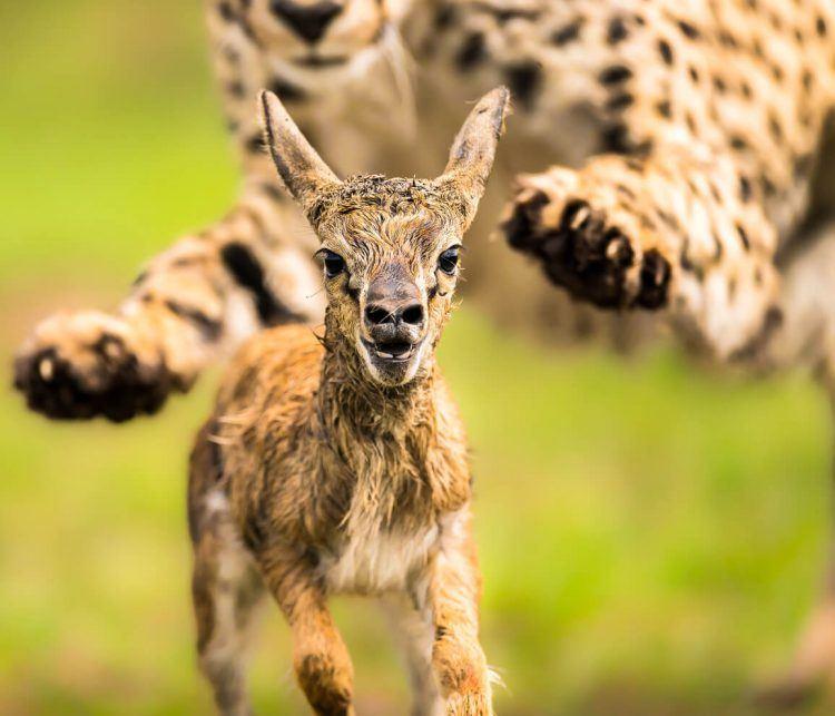 Telle est la dure loi de la jungle : guépard chassant une antilope née depuis quelques minutes seulement.