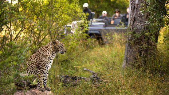 Reserva Sabi Sand é aclamada pelos avistamentos de leopardos