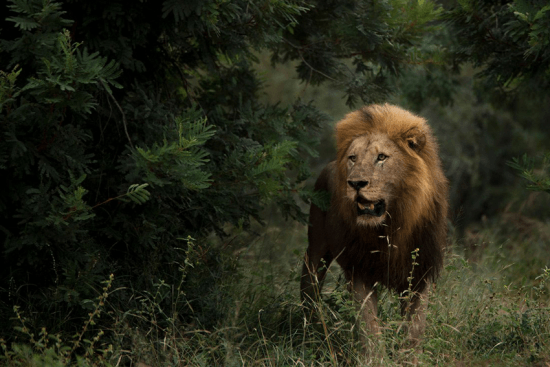 News on travel restrictions in Africa: Lion in Sabi Sand Game Reserve in Southern Africa