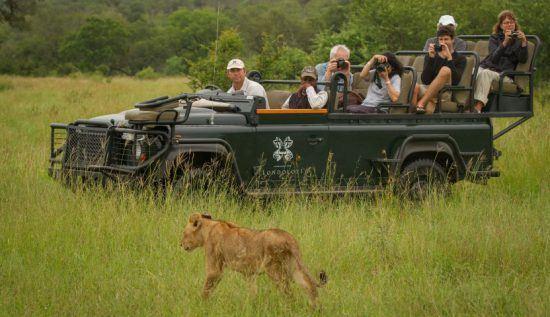 Urlauber fotografieren eine Löwin, die vor dem Geländewagen durchs grüne Gras schreitet