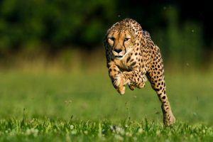 Guépard le plus rapide du monde bondit en pleine course plan moyen