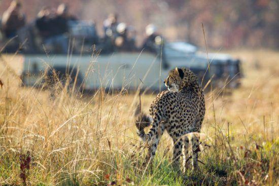 Safari in Sambia: Eine Gruppe in einem offenen Geländewagen beobachtet einen Geparden, der durch die Graslandschaft läuft