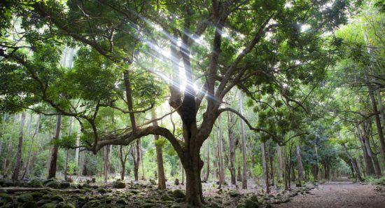 Durch einen Baum im Regenwald fallen Lichtstrahlen