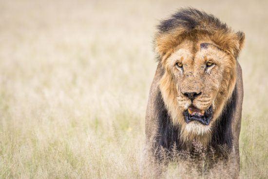 APOTY 2018 lion