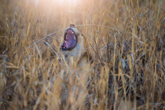 Löwin brüllt im Busch