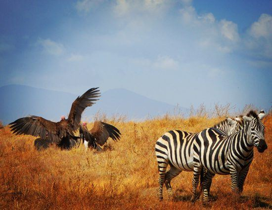 APOTY 2018 zebra and vultures