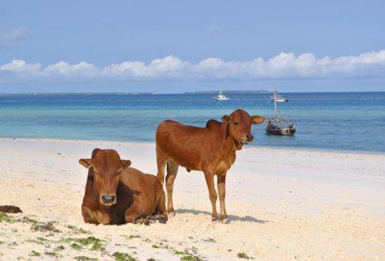 Reiseführer Sansibar: Eine Kuh liegt, die andere steht an einem weißen Sandstrand vor türkisblauem Meer und einem Boot
