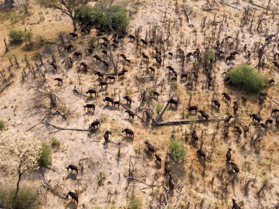 Areal shot of a herd of buffalo taken from the sky in Botswana