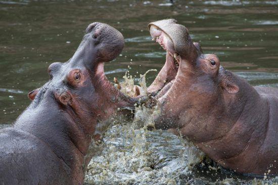 Kämpfende Flusspferde