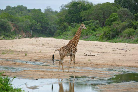 Männliche Giraffe an einem Flussbett im Krüger Nationalpark