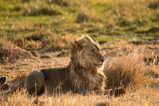 A young, male lion lies submerged in the savannah grassland