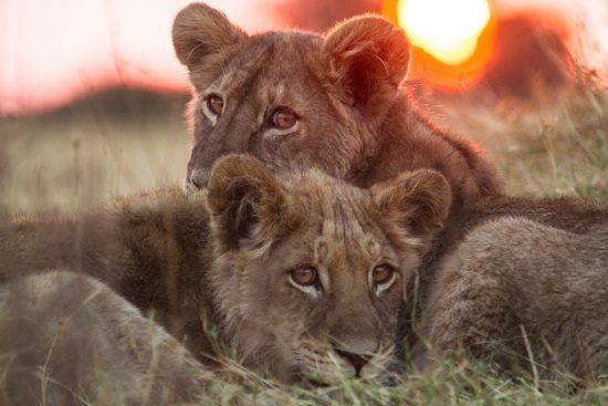 Two lion cubs staring at the camera with the sun setting in the background