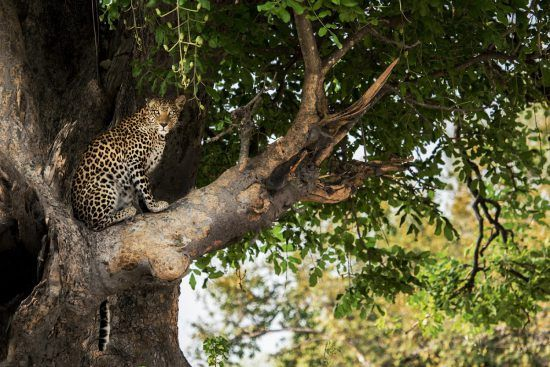 Leopard pictured in a tree on safari