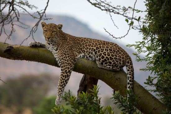 Female leopard in a tree spotted whilst staying at Klein's Camp