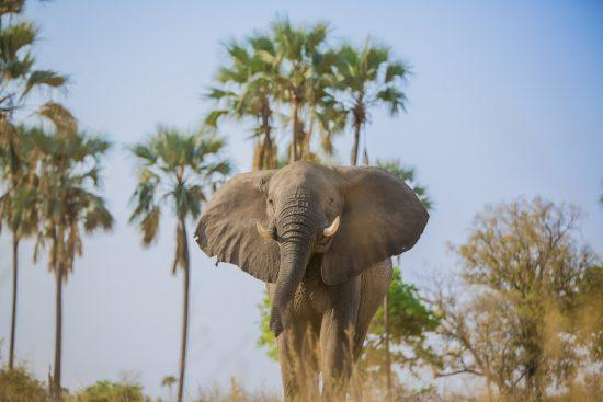 A low-angle shot of an elephant in Botswana with palm trees in the background