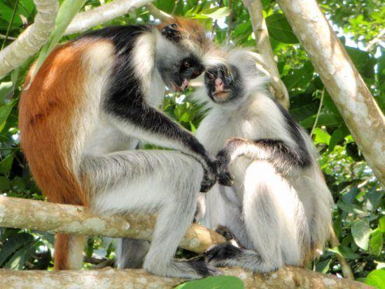 Aktivitäten auf Sansibar: Zwei Sansibar-Stummelaffen sitzen auf einem Ast in einem Baum