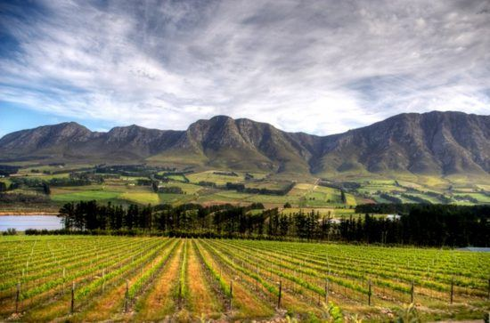 View of vines in Stellenbosch