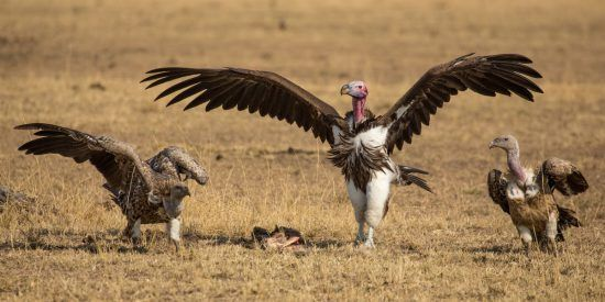 The vultures, center vulture with wings spread, claiming for a piece of carcass