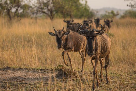 group of wildebeest walking towards the camera