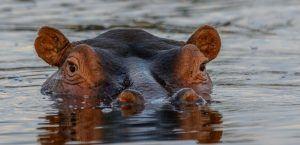 Tête d'hippopotame dépassant de l'eau dans le Delta de l'Okavango au Botswana