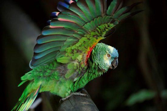 Grüner Papagei mit offenen Flügeln