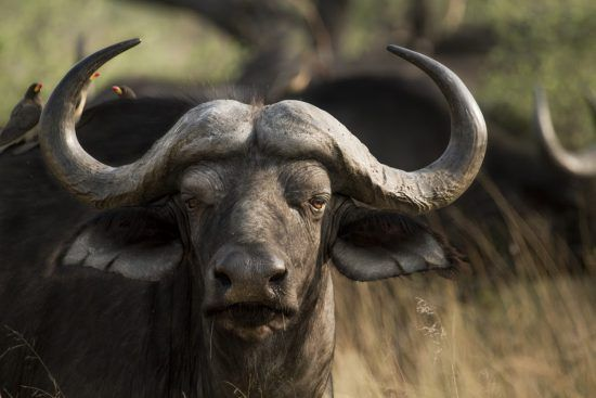 A large buffalo stares straight at the camera after he is snapped