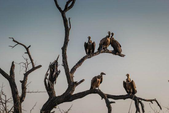 Geier sitzen auf Baum
