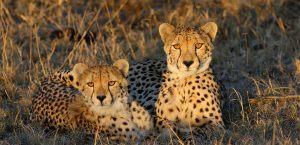 Descubre las direfencias entre guepardos y leopardos
