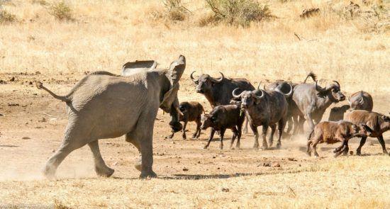Elefant trifft auf Büffelherde