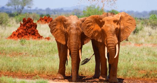 Elefantes, Parque Nacional Tsavo, Quênia