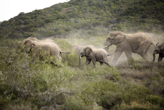 Herd of elephants on the move in Kwandwe Private Game Reserve in South Africa