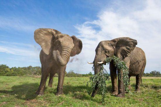 Zwei Elephanten beim Fressen