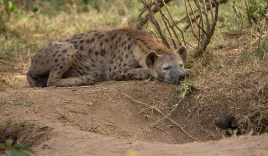 spotted hyena adult napping in shade