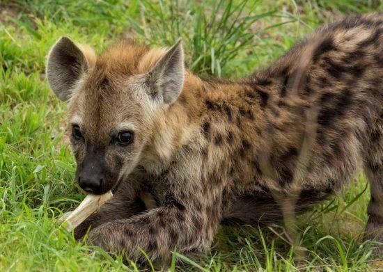 La risa de la hiena, mucho más que un inocente sonido