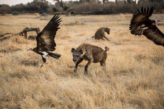 hyena running towards two vultures in flight