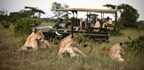 Lions seen while on safari at Klein's Camp